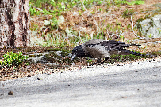 Just found something interesting. Hooded crow by Jouko Lehto