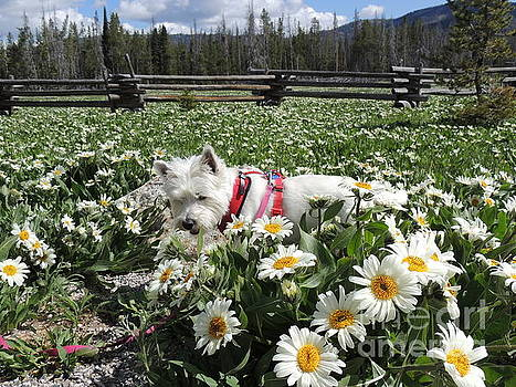 Just Stopped Here To Smell The Flowers Miss Daisy West Highland White Terrier by Art Sandi