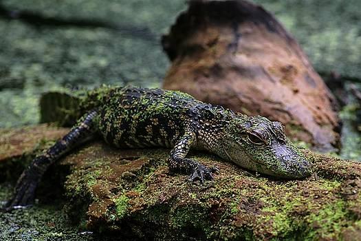 Carol Montoya - Juvenile Alligator