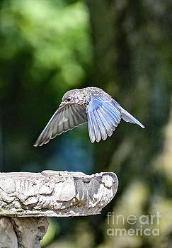 Juvenile Eastern Bluebird Coming In For A Landing by Cindy Treger