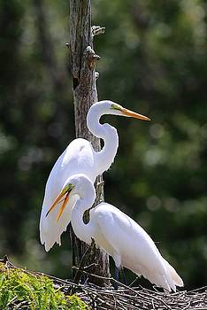 Carol Montoya - Juvenile Great Egrets II