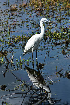 Juvenile Little Blue Heron by William Tasker