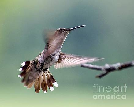 Juvenile Ruby-throated Hummingbird With Fanned Tail Feathers by Cindy Treger