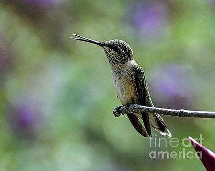 This Juvenile Ruby-throated Hummingbird Has Lots Of Personality by Cindy Treger