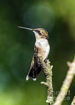 Cindy Treger - Juvenile Ruby-throated Hummingbird Posing