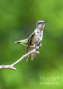 Juvenile Ruby-throated Hummingbird Resting His Wings by Cindy Treger