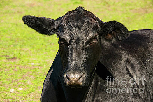 Black Angus Portrait Two by Bob Phillips