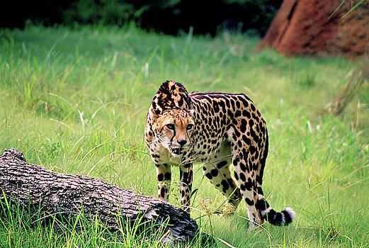 King Cheetah by Fred Hood