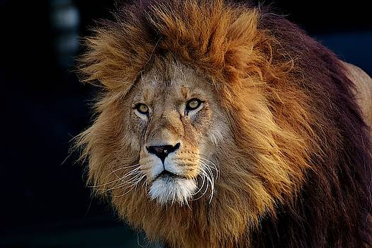 King lion by Top Wallpapers