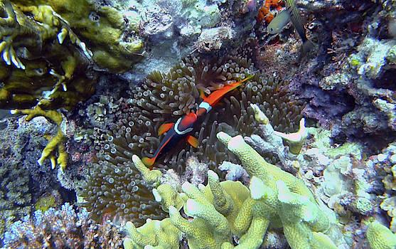 Kissing Clown Fish by Paul Ranky