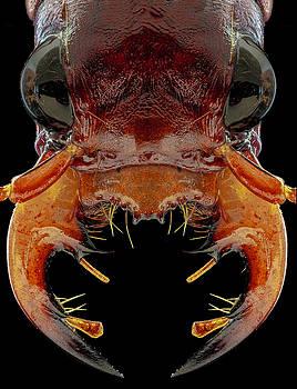 Klug's Xanthine Amazonian Tiger Beetle 3X by Gary Shepard