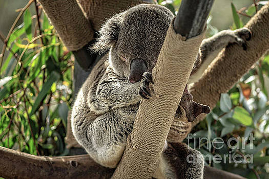 Koala Bear by Edward Fielding