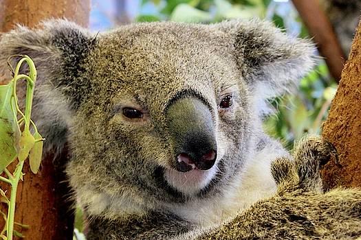 Koala  by Sarah Lilja