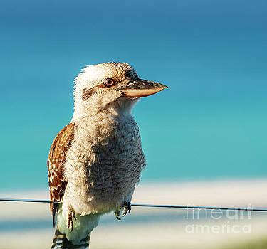 Tim Hester - Kookaburra At Beach