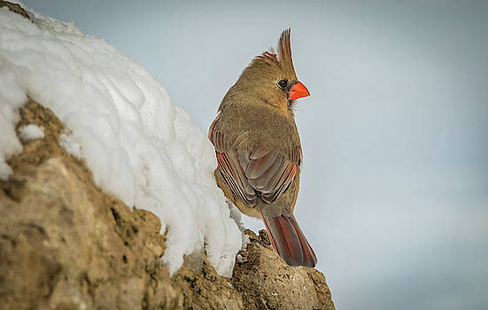 Lady Cardinal On Snowy Rock by Ray Congrove