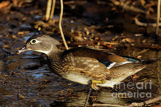 Lady Wood Duck by Natural Focal Point Photography