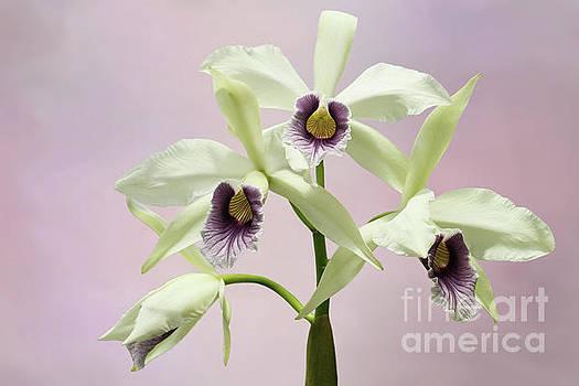 Laelia Purpurata Werkhauseri Orchid V2 by Judy Whitton