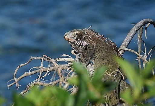 Fraida Gutovich - Lagoon Iguana