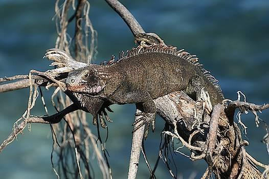 Fraida Gutovich - Lagoon Lizard 2