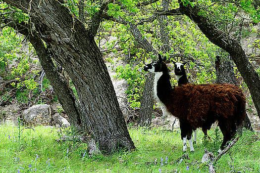 Llamas by Bill Morgenstern