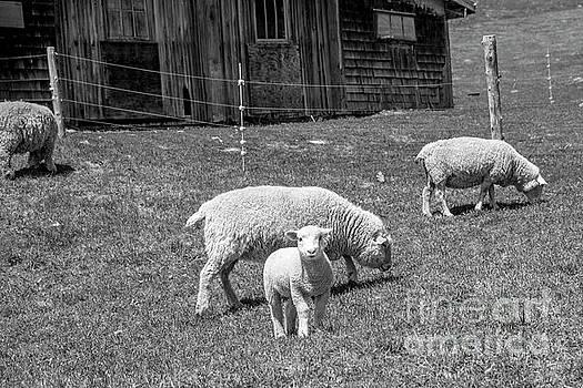 Lamb by Alana Ranney