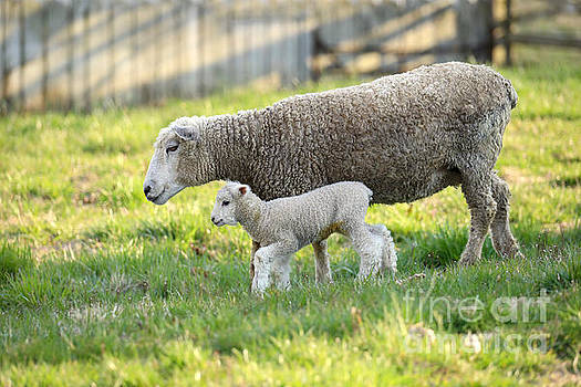 Lamb and Her Mother by Rachel Morrison