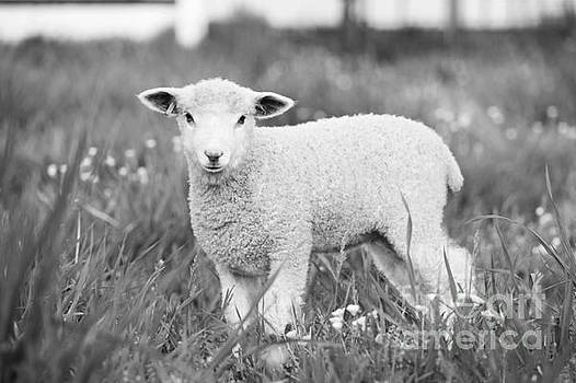 Lamb in Black and White by Rachel Morrison