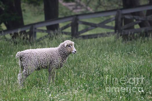 Lamb in the Spring  by Rachel Morrison