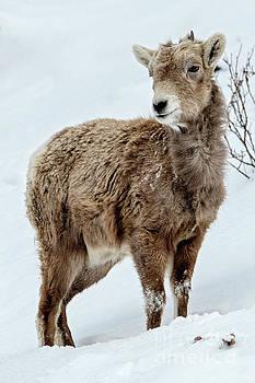 Lamb Tough by Mike Dawson