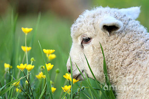 Lamb with Buttercups by Rachel Morrison