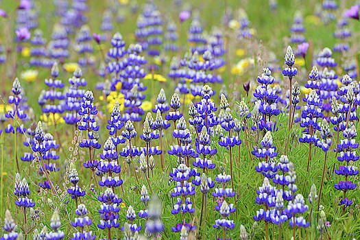 Land of Lupine by Kathy Yates