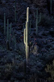 Last Light on Saguaro Cactus by Fred Hood