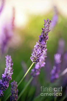 Lavender at sunset by Delphimages Photo Creations