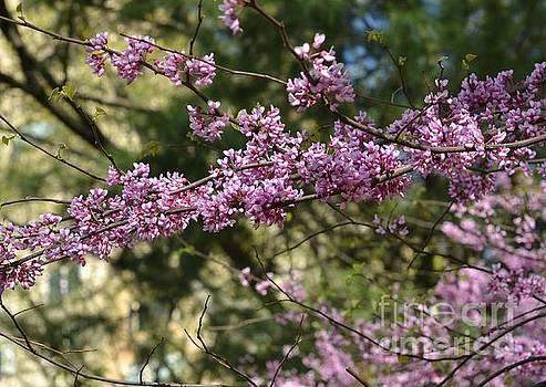 Lavender Blooming Tree - Central Park in Spring by Miriam Danar