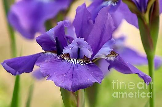 Lavender Iris by Susan Rydberg
