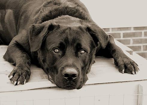 Lazy Lab Dog by Lisa Stanley