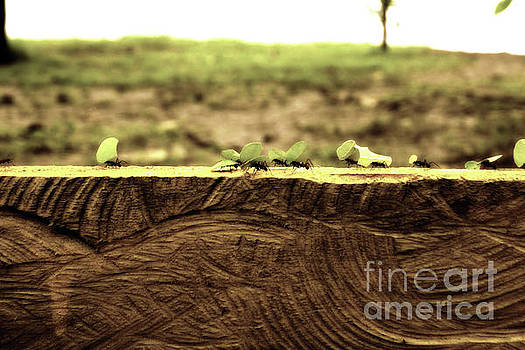 Leaf Cutter Ants on the Move by Cassandra Buckley