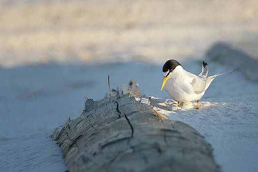 Least Tern Egg Check by Susan Rissi Tregoning