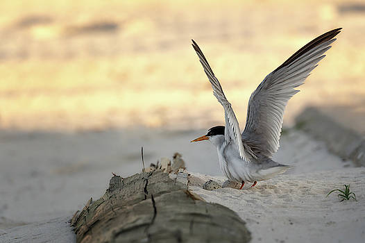 Least Tern Landing by Susan Rissi Tregoning