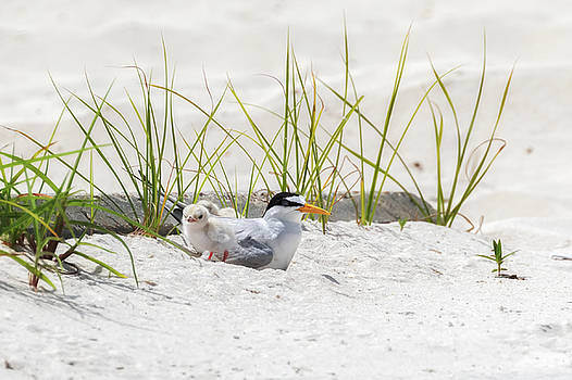 Least Tern with Chicks by Susan Rissi Tregoning