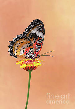 Leopard Lacewing Butterfly #4 V2 by Judy Whitton