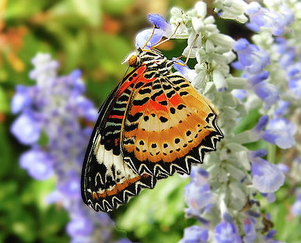 Leopard Lacewing by Emmy Marie Vickers
