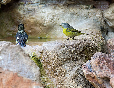 Lesser Goldfinch and Nashville Warbler Taking Turns in the Water by Debra Martz