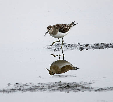 Lesser Yellow Legs- Reflection by Whispering Peaks Photography