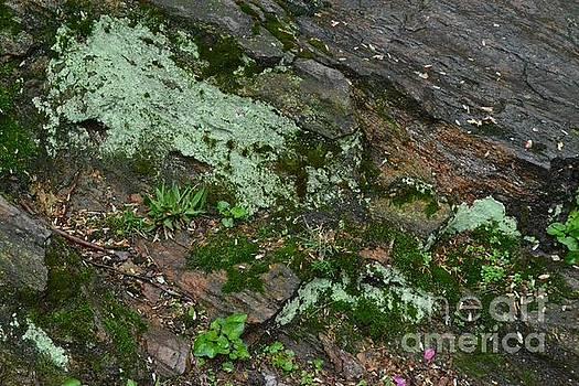Lichen and Moss - Central Park New York by Miriam Danar