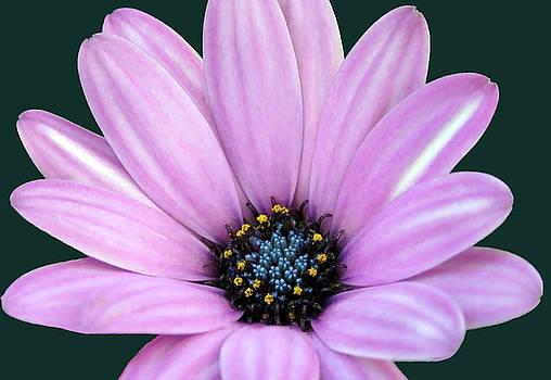 Light Pink Spanish Daisy Closeup  by Johanna Hurmerinta