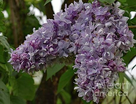 Cindy Treger - Lilacs Bring The Scent Of Spring