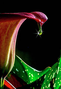 Lily Droplet by John Rodrigues