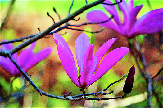 Lily Magnolia  by Cynthia Guinn