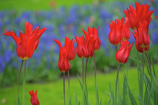 Jenny Rainbow - Lily Shaped Red Tulips of Keukenhof